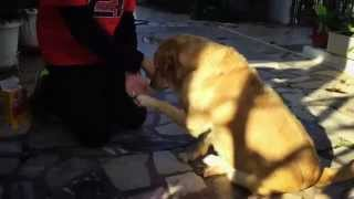 Golden Retriever Does Everything To Eat!