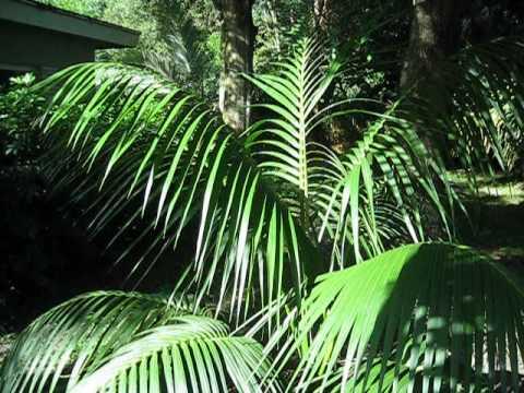 Howea forsteriana Kentia palm