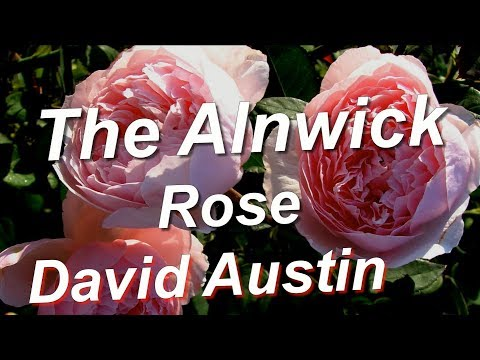 Вопрос: Сорт розы The Alnwick Rose какие отзывы, мнения?