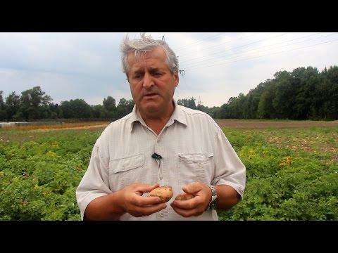 Как отобрать клубни картофеля для посадки