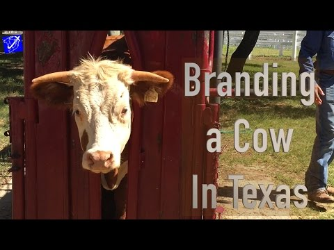 Humane Cow Branding at LBJ Ranch | Travel Vlog