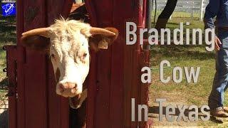 Humane Cow Branding at LBJ Ranch