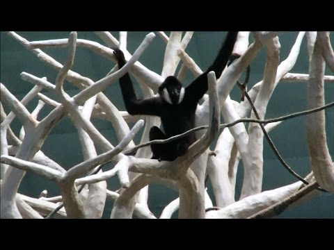 Gibbon Ape Swinging Fast - Showing Off & Checking To See If Everyone Is Watching