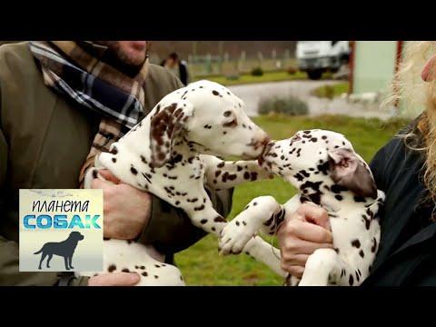 Далматин. Планета собак 🌏 Моя Планета