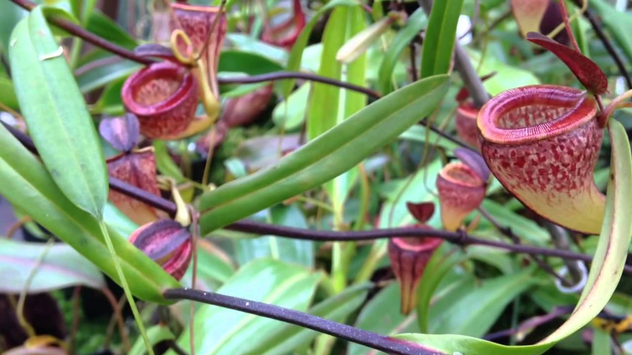 Nepenthes Tenuis Youtube