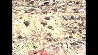 Leopard Kills Warthog Brutal