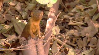 Baby Mongoose in HD
