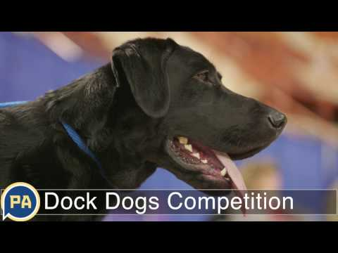 Dock Dogs: Amazing Dogs Jump In Competition At Great American Outdoor Show