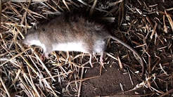 Poisoning rats on the farm with bait