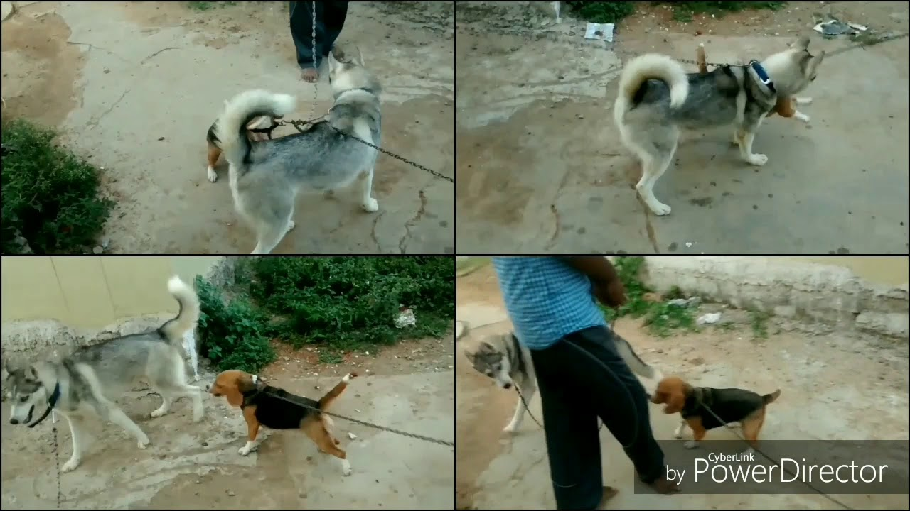 25 Solid Evidences Attending Siberian Husky Puppies For
