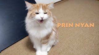 【返事する猫】素晴らしい返事をする子猫「プリン」 にゃ! Cat meowing