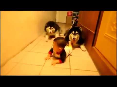 [Kênh Hài Hước] Hai chú chó tập bò theo em bé cực kỳ đáng yêu