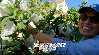 如何種植大又香甜有機芭樂 - 第 3 部: 修剪枝葉方法(幼果套袋後) thumbnail