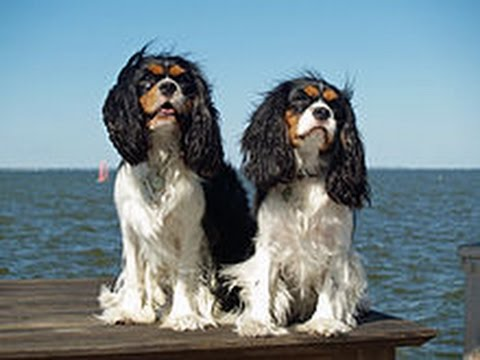 How To Train a Cavalier King Charles Spaniel Training