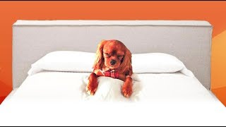 Cavalier King Charles Spaniel Goes To Sleep When Tucked In
