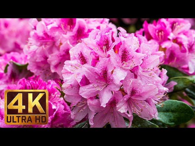 Flowers, Leaves & Rain | 3.5 Hour 4K Video of Rain Falling on Flowers | Sound of Rain for Sleep