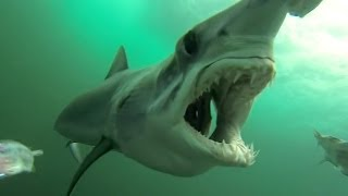 Dig This Crazy Amateur GoPro Shark Footage