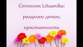 О КРИСТАТНОСТИ фиалки Lituanika (ЛИТУАНИКА),разделяю деток.