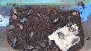 幼虫から育てたカブトムシが成虫になりました。室内にカブトムシの幼虫...