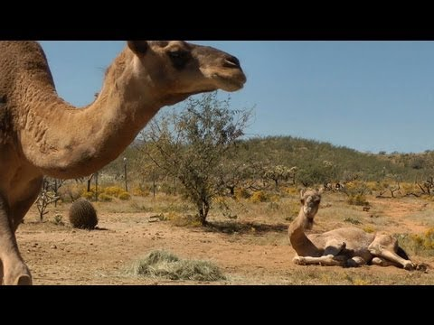 Sped up! Time lapse of Dromedary Camels interacting