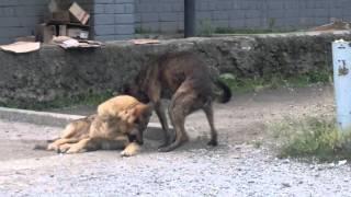 собака писькой чешет живот, и пританцовывает!