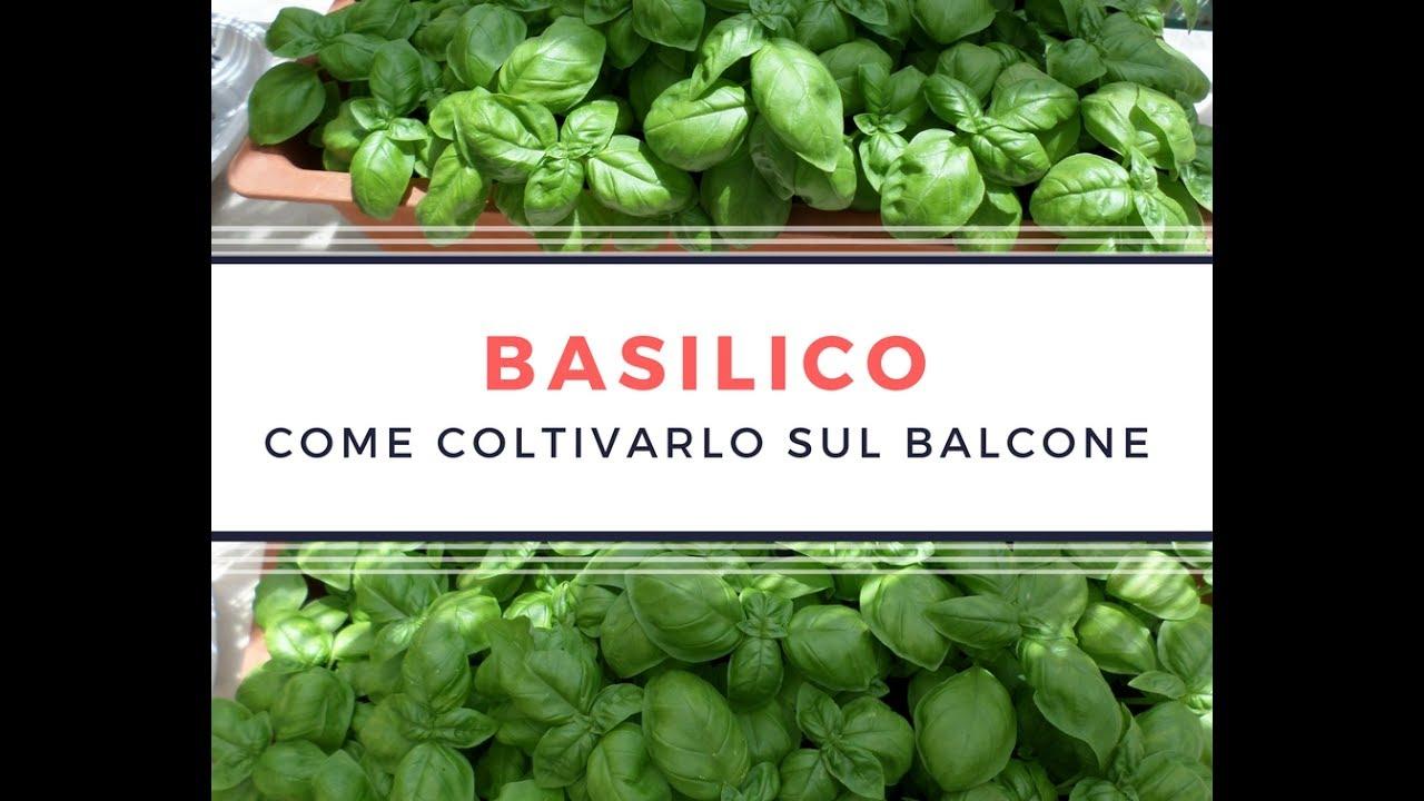 Basilico in vaso come coltivare il basilico sul balcone for Coltivare il basilico