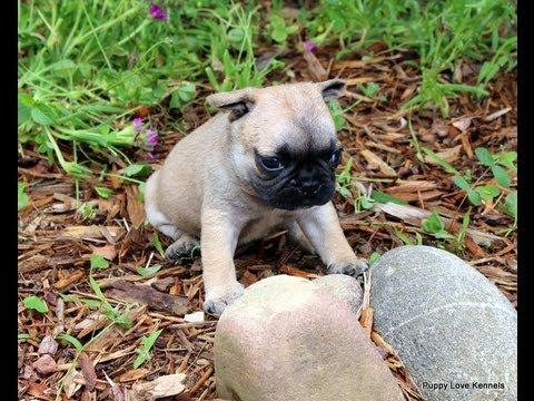 Frug Puppies Youtube