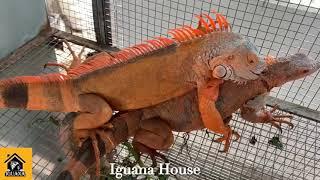 Iguana House . Hướng Dẫn Cho Iguana Giao Phối ( Iguana Mating )