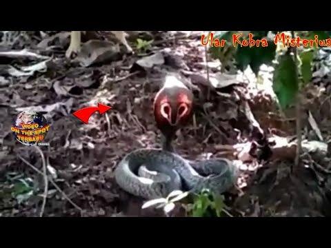 Kemunculan Ular Cobra Kepala Bersinar Ini Hebohkan Warga!! Sungguh Aneh & Langka!