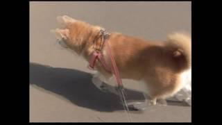 リードの持ち手で態度が変わる柴犬 その2Japanese Shiba dog is a good look for someone to take a walk together. thumbnail