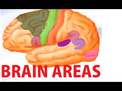 Functional Brain Areas - Brain Anatomy Cortex
