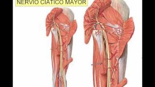 Del trayectoria nervio de ciático diagrama