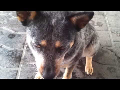Blue Heeler (Australian Cattle Dog) Tricks