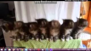 koty tańczą wigle wigle