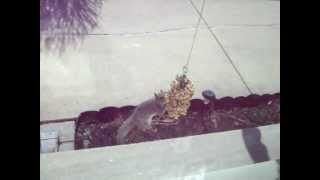 Squirrel On Bungee Feeder.mov