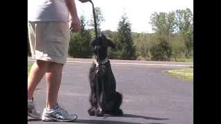 Giant Schnauzer Pup First Day Training
