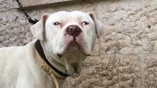 يحتاج كلب البيتبول الذي تعرض لهجموم شرس من انثى بيتبول لعلاج اخر لمدة شهر مع جمال العمواسي