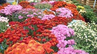 Уход за комнатной хризантемой(Для успешного выращивания комнатной хризантемы требуется соблюдение температурного режима и период покоя..., 2016-04-02T14:15:45.000Z)