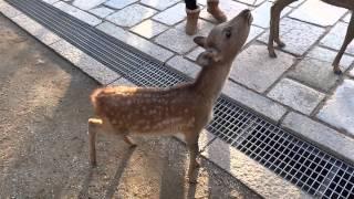 ☆奈良公園☆ 小鹿 超☆かわいい☆・・・お辞儀しながらよって来る。。。 kawaii