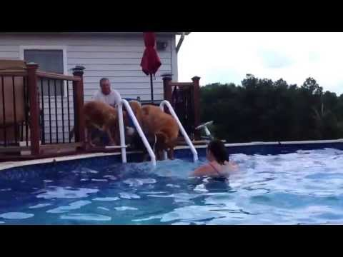 Golden Retriever being pushed in Swimming Pool! So Funny!!