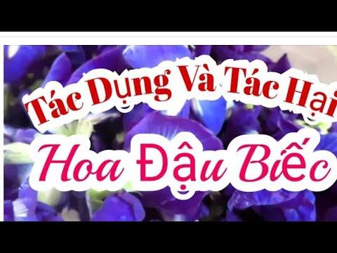 Tác dụng và Tác Hại của Hoa Đậu biếc/Effects and harms of Butterfly Pea/ Thanh đồng vlog