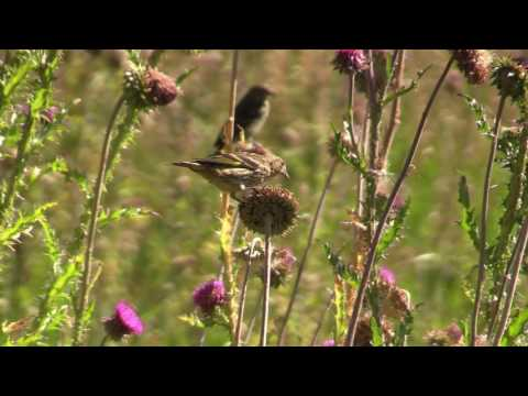 Gold Finches Eating Thistles in Idaho - Yellow Gold Finch Pulls Thistles Seeds from a Flower