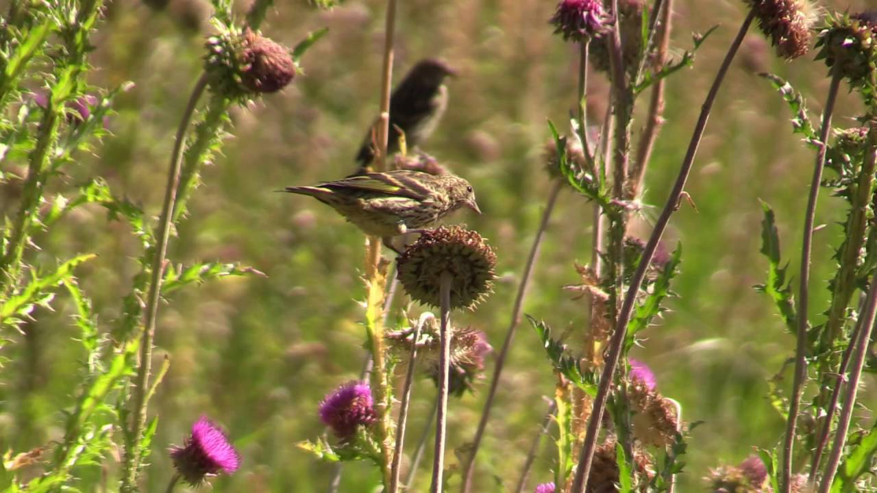Gold Finches Eating Thistles In Idaho Yellow Gold Finch Pulls