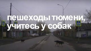 Собаки Тюмени умнее многих пешеходов/ Clever Dogs in Tyumen city, Russia