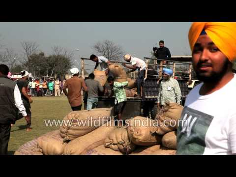 Rural sporting activity from India: unloading boris or jute sacks from truck!