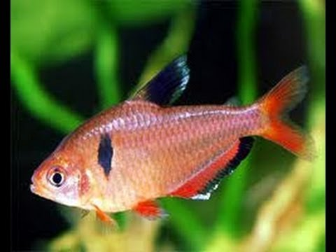 New fish 29 gallon serpae tetras youtube for Tetra acquario