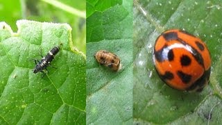 Organic Aphid Control with Ladybirds - Beneficial Insects
