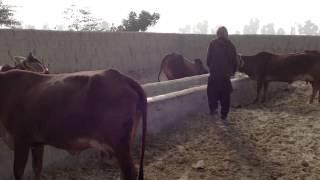 Cow farm in Pakistan (Syed Abbas Ali Shah Farms)