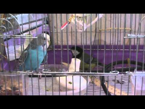 Попугай и синица. Titmouse and Parrot