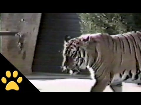 Dog Gets Scared By Tiger!